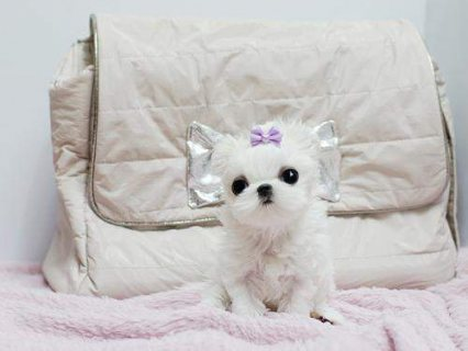 Excellent Male And Female Tea Cup Maltese Puppies 111