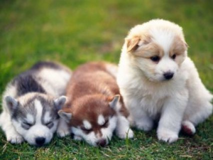 Top Quality Alaskan Malamute Puppies Available,,,