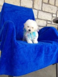 Lovely Bichon Frise Puppies For Sale,,,,,,,