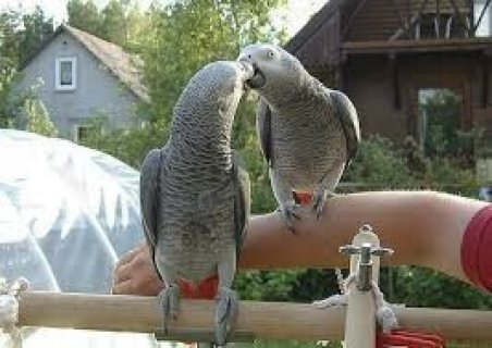 Beautiful Male and Female Congo African Grey Parrots,,,,