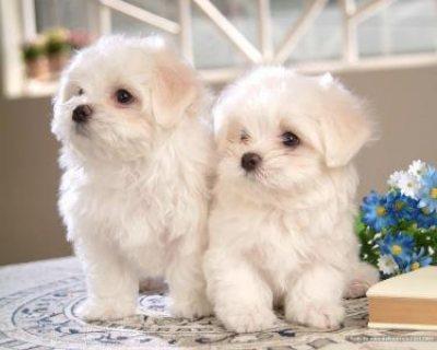 Maltese Puppies,,,