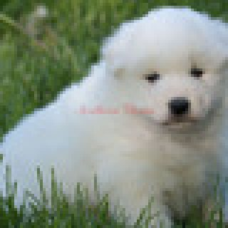 Healthy Home raised Samoyed pups available