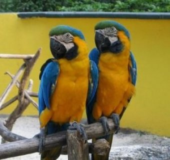 blue and gold macaw for adoption,,,,,,,,,,,,,,,,,,,