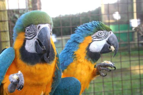 Home raised Blue And Gold Macaw Parrots Available.909
