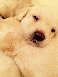 Adorable Labrador puppies for sale