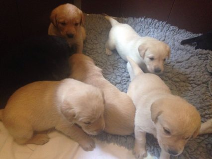 Labrador retriever  puppies available.