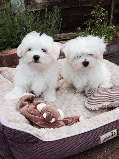 Adorable Teacup Maltese Puppies