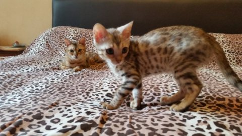 Cute Bengal Hittens Available For Sale