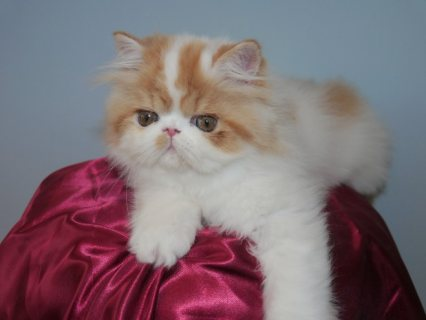 Absolutely Beautiful Persian Kitten For Sale