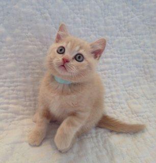 British short hair Kitten Available For Sale