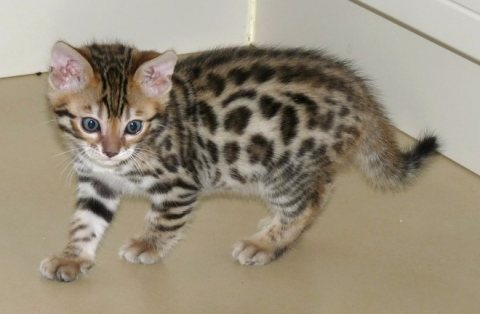 Gorgeous Bengal Kittens Available Now For Sale