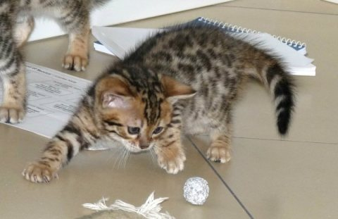 صور  Adorable Bengal Kittens for Sale 1