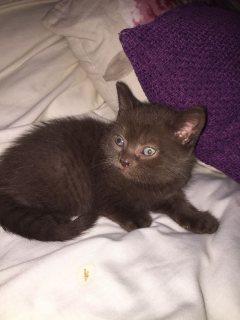 Cute British Blue Shorthair kittens For Sale