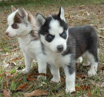 صور Home Trained Siberian Husky Puppies Available For Sale 1