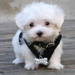 Sweet & Playful Maltese Puppies For Sale