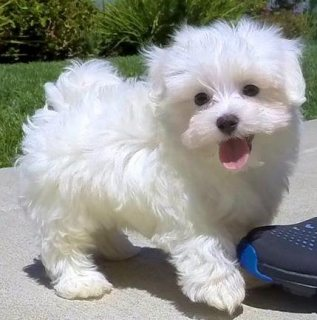 Charming Maltese Puppies For Sale