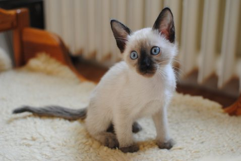 Adorable siamese Kittens Available for sale
