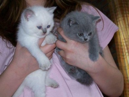 Sweet male and female British short hair kittens ready for sale