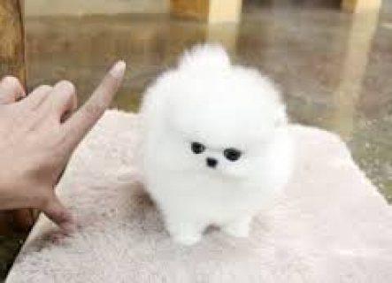Pomeranian Puppies ,,,,,,