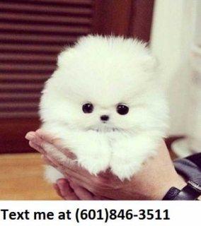 Pomeranian Pups for sale $400
