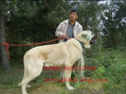 كلب الكنغال التركي الشرس للبيع