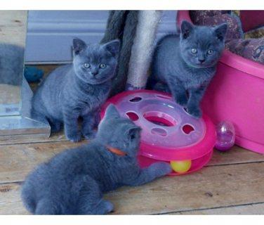 british kittens needs new home