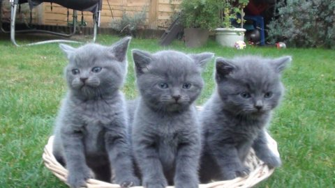 صور Well Trained British shorthair kittens For Sale. 1