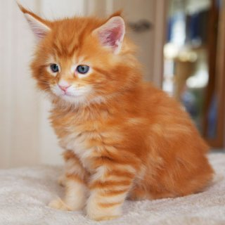 maine coon kittens Available For Sale.