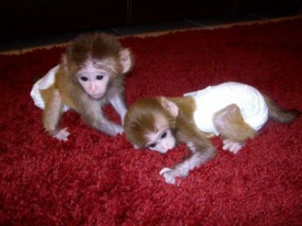 Cute baby capuchin monkeys For Sale