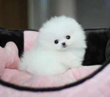 Cut male and female.Tiny Teacup Pomeranian for adoption..,.,