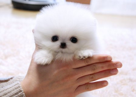 **Tiny Teacup Pomeranian Puppies For sale**