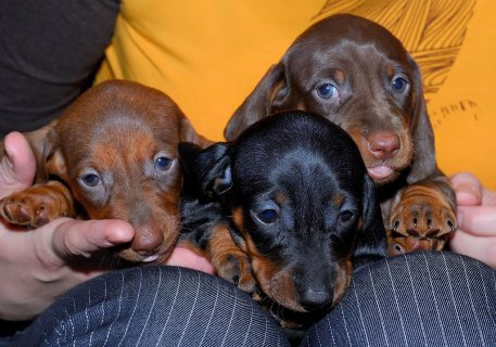 3 Dachshund Puppies for sale.