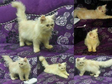 قطة شيرازي انثى بيج 5 شهور