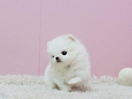 Adorable Princess, Ice White Pomeranian Available