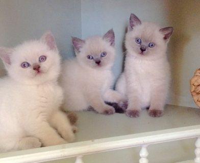 Last remaining blue colourpoint BSH kittens