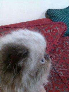عدد2 قطط هيملايا ذكور عمر شهرين