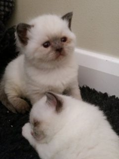 Healthy Ragdoll kittens  available