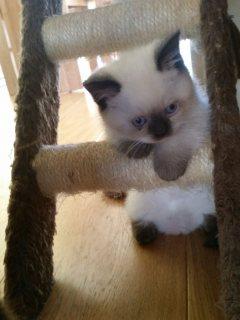 Healthy ragdoll Kittens For Adoptions