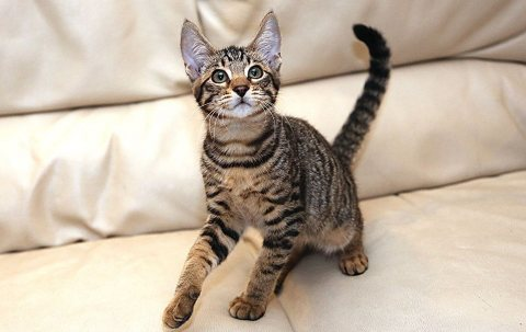 Exotic African Serval and Savannah Kittens for Adoption
