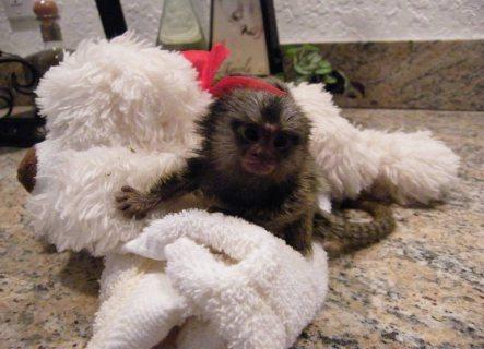 Marmoset Monkey available