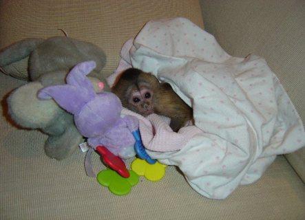 White Face Female Capuchin Monkey