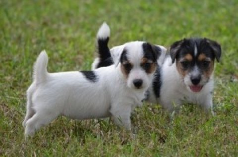 Jack Russell Puppies......