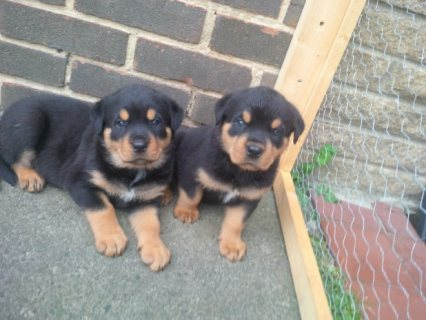 Lovable Rottweiler Puppies for Sale