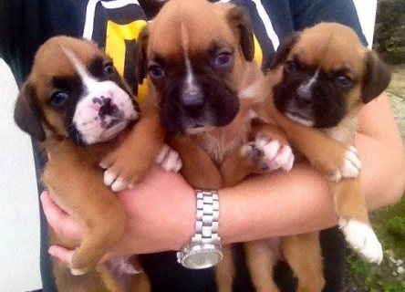 Cutest Boxer Puppies For Sale