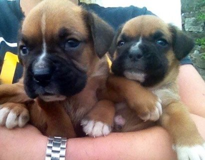 Absolutely Gorgeous Boxer Puppies For Sale