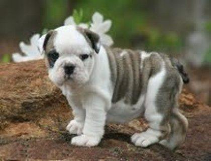 Akc registered English Bulldog puppies for adoption