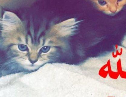 قطط صغيرة و جميلة من النوع الشيرازي ب 1300