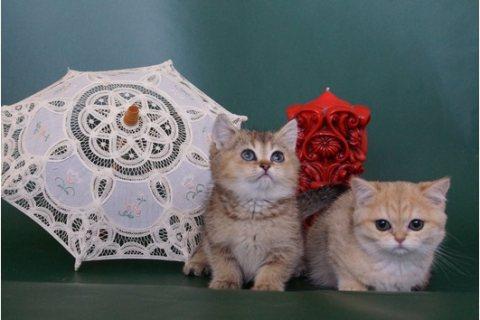 Scottish Fold Kittens Available,,,,,,,,,,,