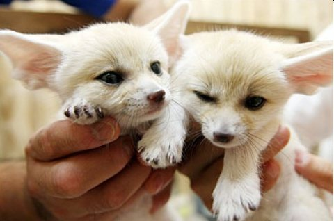 Male and Females Fennec Fox For Sale