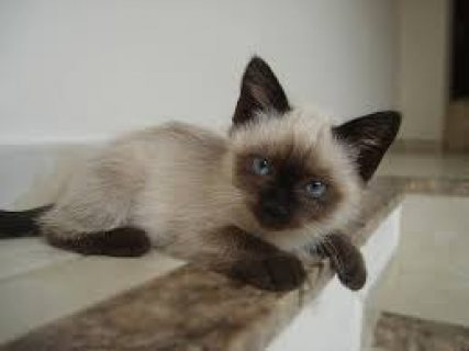 LATTE - Siamese girl ready for new home.